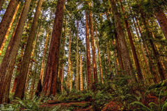 Redwoods Stock Image