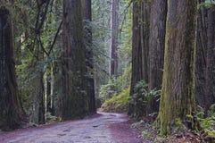 redwoods redwood национального парка Стоковые Фото