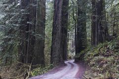 Redwoods, Redwood National Park. Royalty Free Stock Image