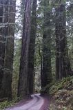 Redwoods, Redwood National Park. Royalty Free Stock Photography