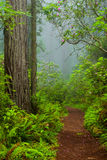 Redwoods and rhododendrons along the Damnation Creek Trail in De Stock Photo