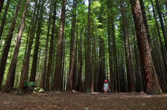 Redwoods in Rotorua New Zealand Stock Images