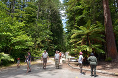 Redwoods in Rotorua New Zealand Stock Photos