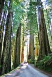Redwoods Scenic Drive Royalty Free Stock Photo