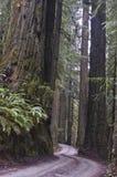 Redwoods, sosta nazionale del Redwood. fotografia stock libera da diritti