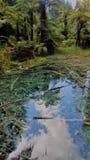 Redwoods spacer Rotorua zdjęcia stock