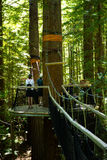 Redwoods `Tree Walk` 04 Royalty Free Stock Photo