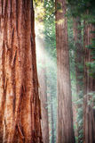 Redwoods, Yosemite Royalty Free Stock Photos