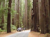 redwoodträd Arkivbild