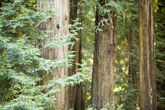 redwoodträd Arkivfoto