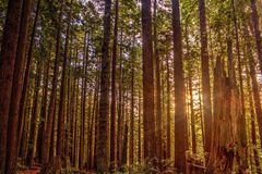 redwoodträd Royaltyfri Bild