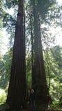 redwoodträd fotografering för bildbyråer