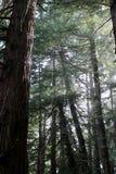 redwoodträd Arkivfoton