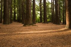 redwoodträd för 03 skog fotografering för bildbyråer