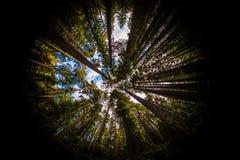 Redwoodträd Forest Fisheye Arkivfoton