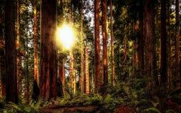 Redwoodträd Forest Landscape Fotografering för Bildbyråer