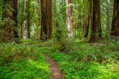 Redwoodträd Forest Path i Humboldt County arkivbild
