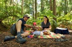 Redwoodträd i Rotorua Nya Zeeland Arkivfoto