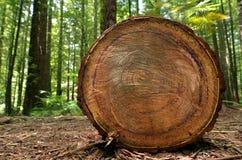 Redwoodträd i Rotorua Nya Zeeland royaltyfri fotografi