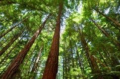 Redwoodträd i Rotorua Nya Zeeland Royaltyfri Bild