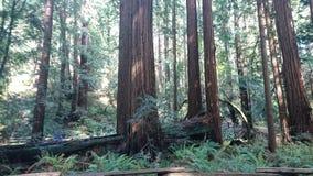 Redwoodträd Muir Woods royaltyfri foto