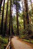 redwoodträd path2 Royaltyfria Bilder