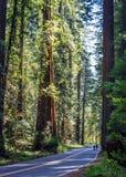 Redwoodträd som cyklar på avenyn av jättarna royaltyfri foto