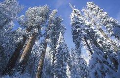 Redwoodträd som räknas i Snow, arkivfoto