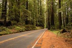 Redwoodträdaveny Arkivfoton