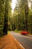 Redwoodträdaveny Royaltyfri Foto