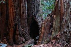 Redwoodträddunge Royaltyfri Bild