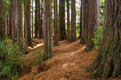 Redwoodträddunge i Hamurana vårar Royaltyfri Fotografi