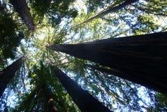 Redwoodträdhimmel Royaltyfri Bild