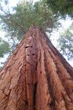 Redwoodträdjätte Arkivfoto