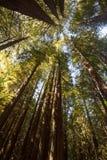 Redwoodträdmarkis Royaltyfri Foto