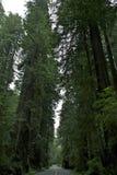 Redwoodträdnationalpark Arkivbilder