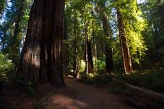 Redwoodträdnationalpark Fotografering för Bildbyråer