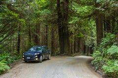 Redwoodträdnationalpark, Kalifornien, USA - Juni 10, 2015: Jeep Cherokee på en landsväg i skogredwoodträdet Fotografering för Bildbyråer