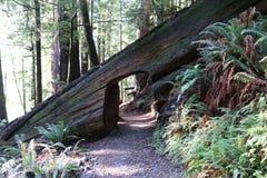 Redwoodträdnyckelhål Arkivbilder