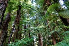 Redwoodträdskog i Rotorua, Nya Zeeland royaltyfri foto