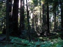 Redwoodträdskog i solljus Arkivfoto