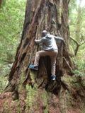 Redwoodträdskog mig ousman mbenga Arkivfoto