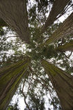 Redwoodträdträd Arkivbild