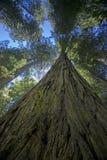 Redwoodträdträd i Kalifornien Royaltyfri Fotografi