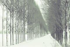 Redwoodträdträd med snö Arkivbilder