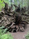 Redwoodträdträdet rotar royaltyfria foton