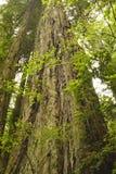 redwoodträdtree Royaltyfri Bild