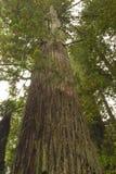 redwoodträdtree Fotografering för Bildbyråer