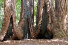redwoodträdtrees Royaltyfri Bild