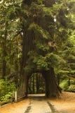 redwoodträdtreetunnel Royaltyfri Fotografi